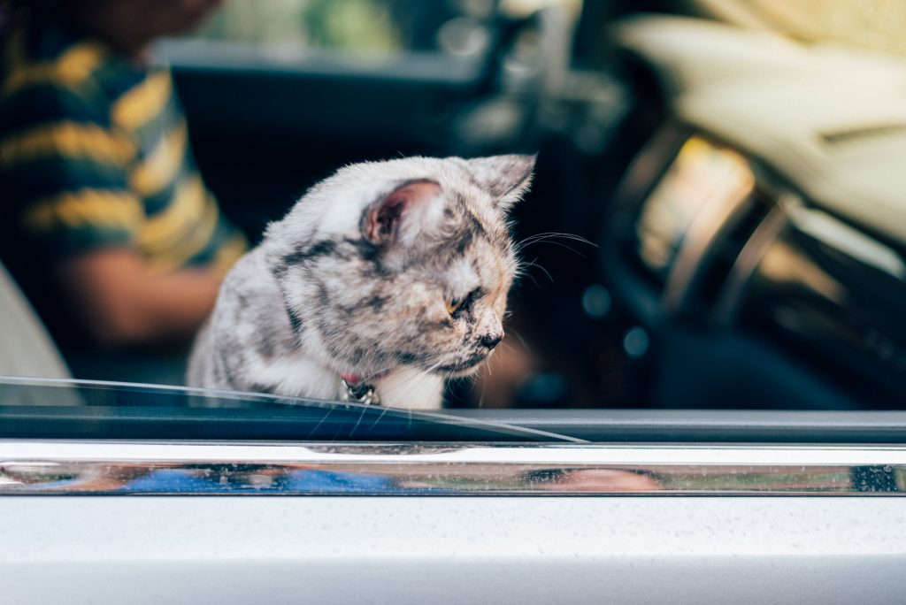 Cat so cute sitting inside a car wait for travel