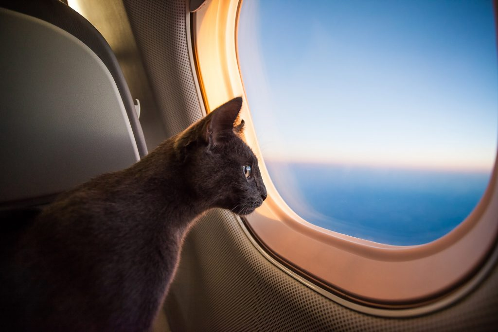 Travelling cat looking out airplane window