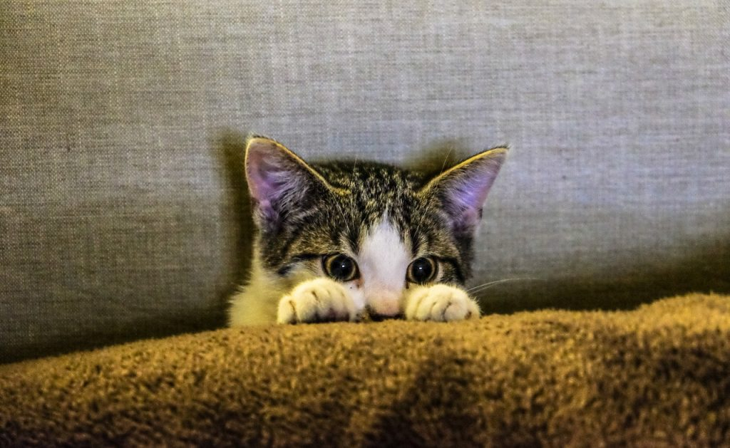 cat hiding behind covers