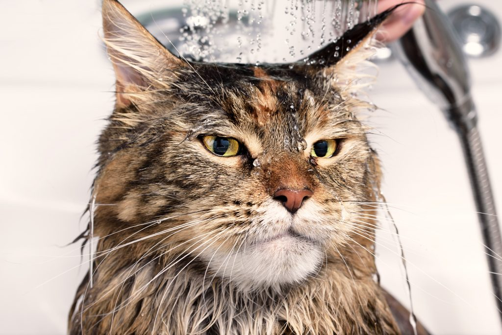 Cat bath. Wet cat. Cat washed in the shower