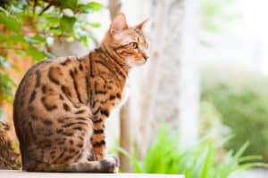 Bengal Cat sitting relaxed on garden Table