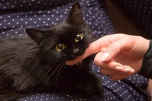 black cat playing with woman hand and biting finger.