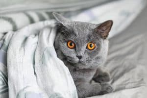 Cute grey cat lying in bed under a blanket. Fluffy pet comfortably settled to sleep. Cozy home background with funny pet.