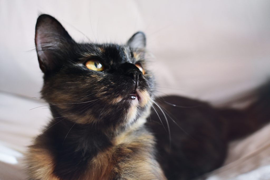 Selective Focus Photography Of Calico Cat