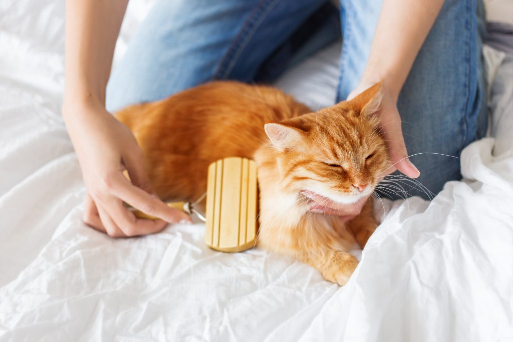 Woman combs a dozing cat's fur. Ginger cat's head lies on woman hand. The fluffy pet comfortably settled to sleep. Cute cozy background, morning bedtime at home.