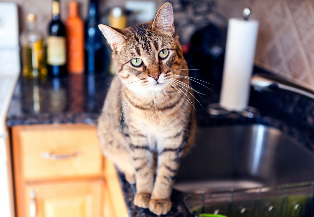 Young Cat In The Kitchen on countertops