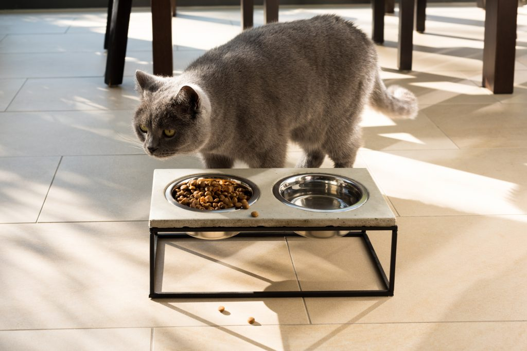 Beautiful British shorthair cat approaching a stylish food bowl made out of concrete and metal frame placed on the floor on a sunny day