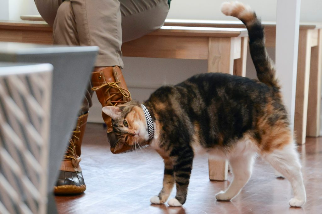 Calico cat rubbing its head and ears against a seated person's foot.