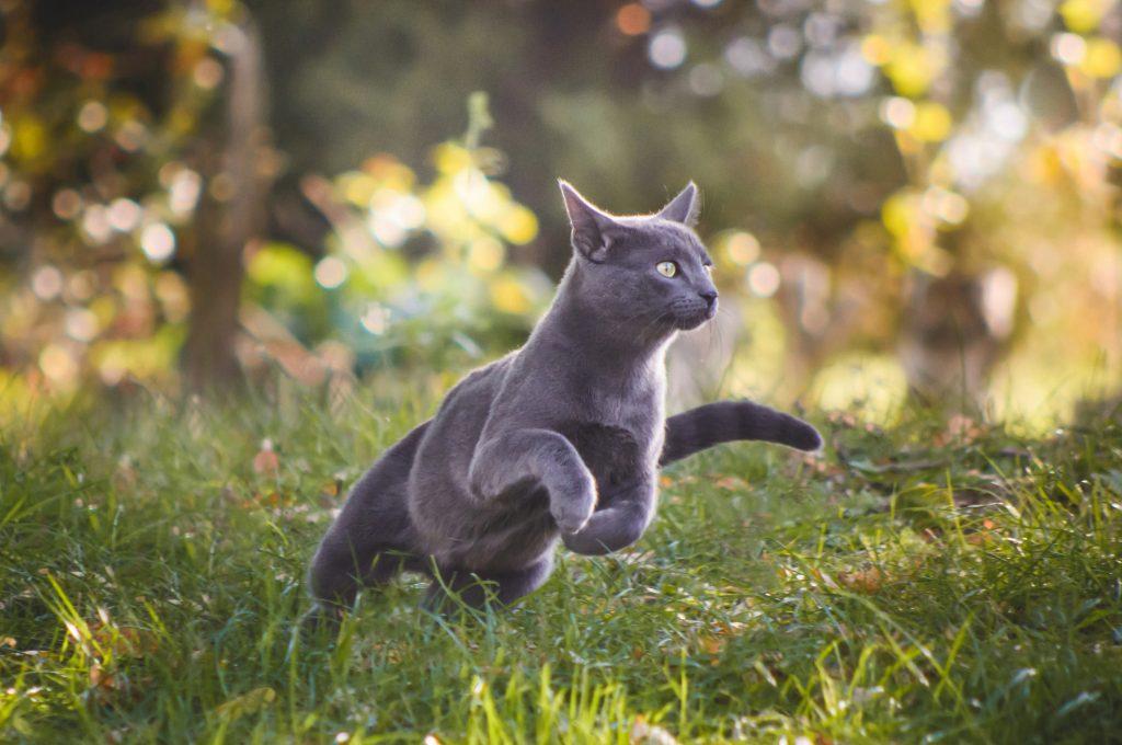 Cute russian blue cat running in nature
