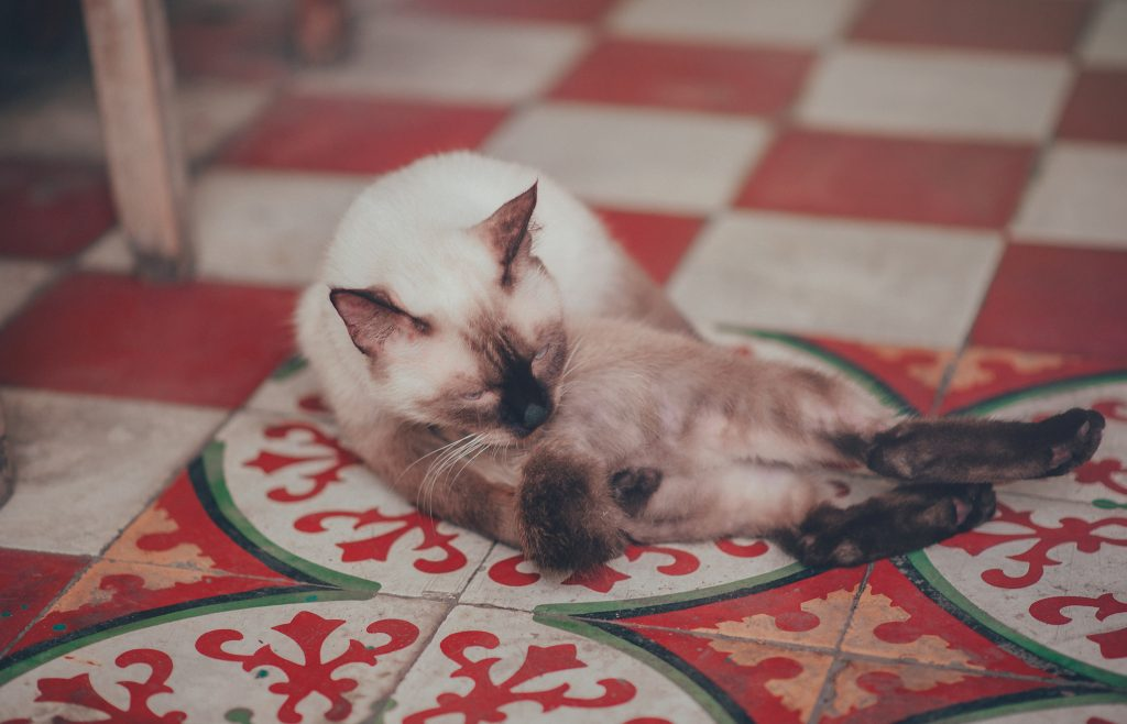 White Siamese Cat Lying on Floor
