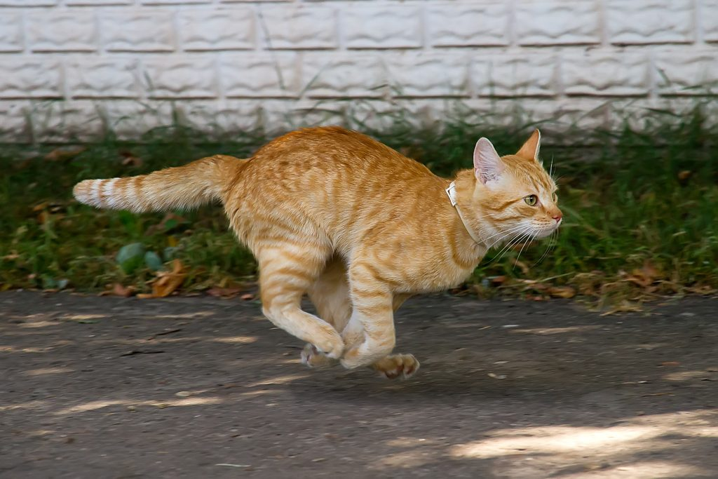 Red cat running down the street