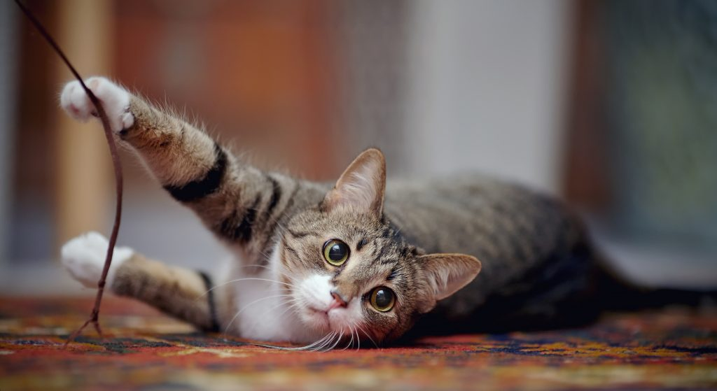Striped domestic cat with white paws, plays on a carpet