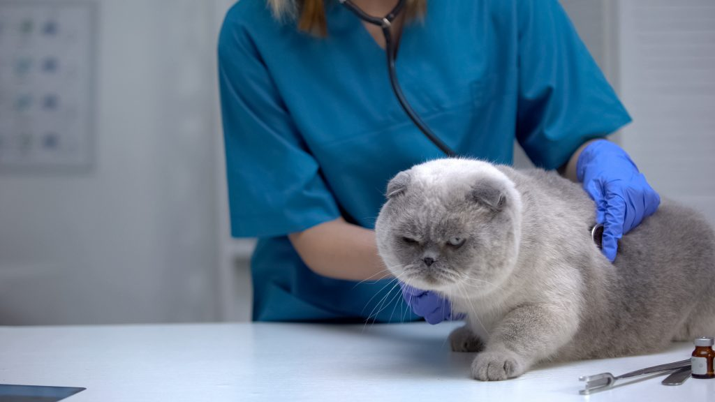 Vet listening cat stomach with stethoscope, risk of hairball, lung disease