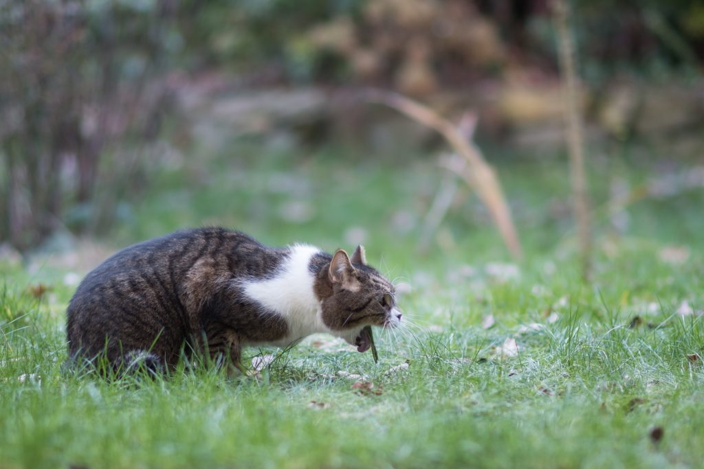 side view of a tabby white british shorthair cat vomit in back yard on lawn