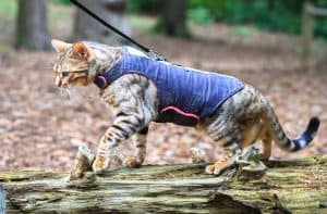 A bengal cat in a harness walks across a log in a forest in Nesscliffe, Shropshire, England.