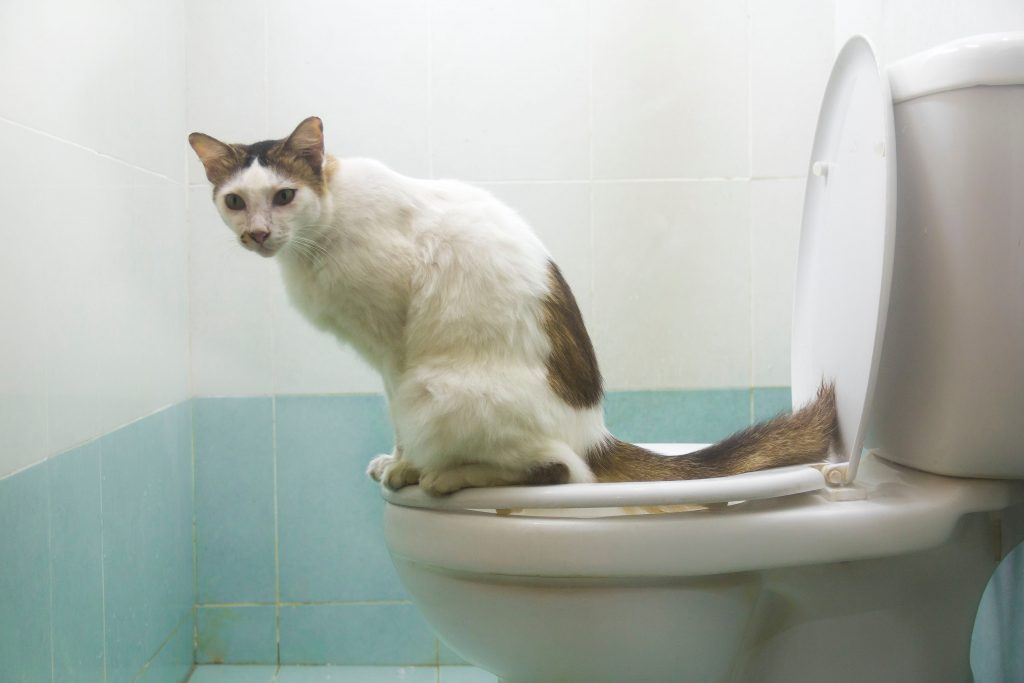 A cat knows how to use a toilet properly.