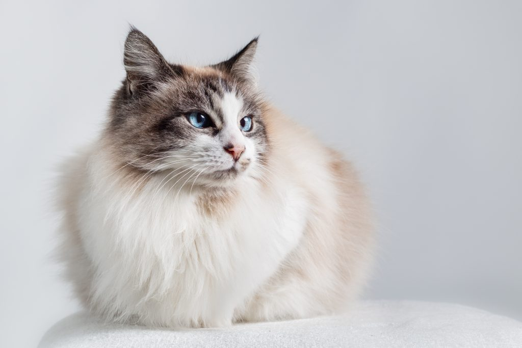 Long hair domestic cat - Ragdoll. Light color coat with dark ends and blue eyes. Sitting down with light plain background.