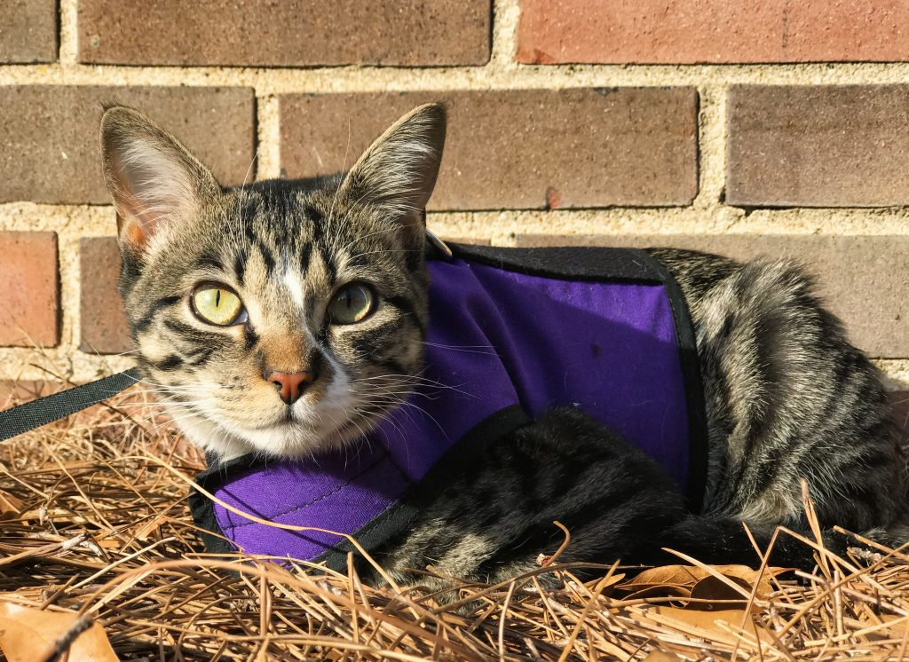 One young female cat is wearing a purple colored harness and a leash while she is outdoors training to be an adventure cat.